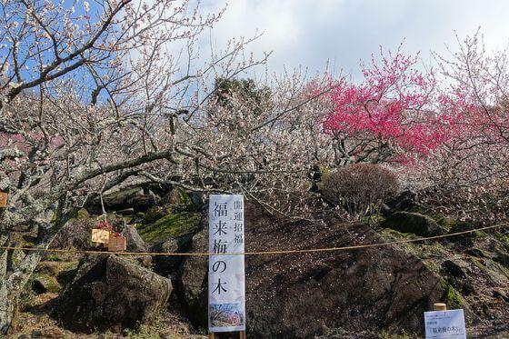 筑波山 福来梅の木