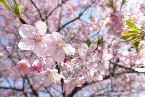 八千代 河津桜 開花状況