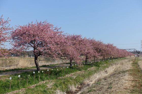 八千代市 河津桜