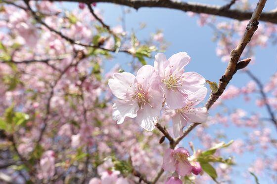 新川 河津桜