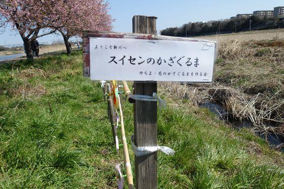 八千代新川千本桜 スイセンのかざぐるま