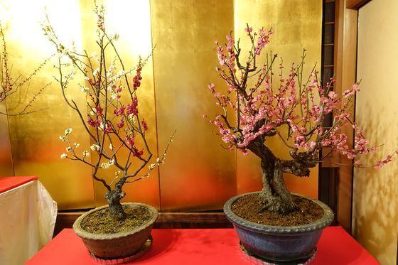 奈良 梅盆栽