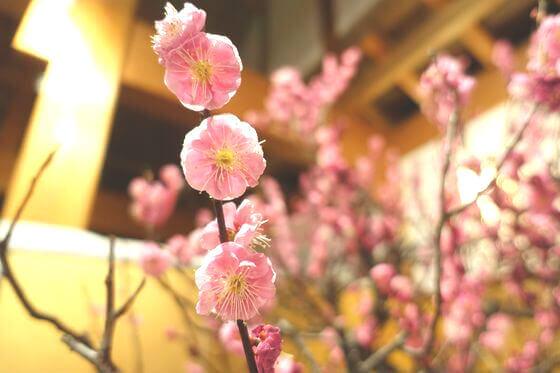 大和郡山 盆梅展 開花状況