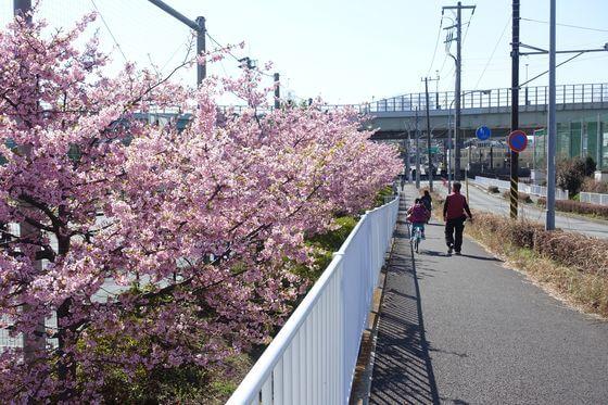 谷本公園 河津桜