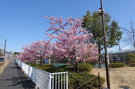 河津桜 谷本公園