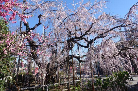 地蔵院 桜 見頃