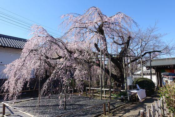 地蔵院 ふじみ野 しだれ桜