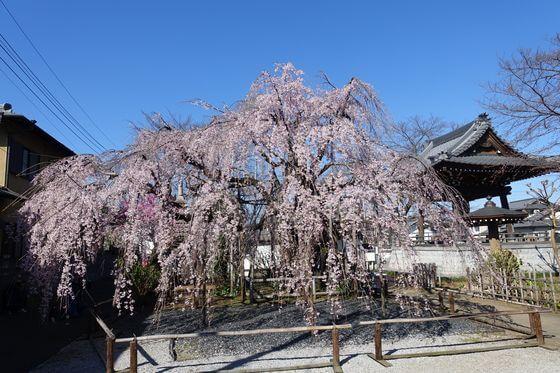 地蔵院 しだれ桜