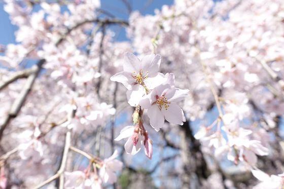 地蔵院 桜 開花状況