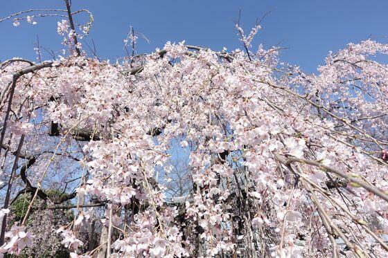 地蔵院 桜