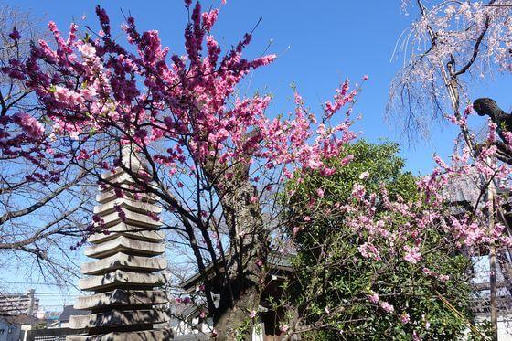 地蔵院 花桃