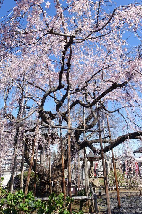 ふじみ野市 桜