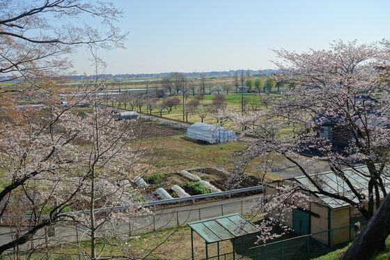 あけぼの山公園 展望台 桜