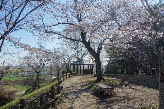 あけぼの山 桜