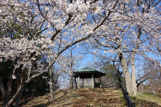 あけぼの山公園 桜 見頃