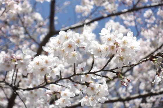 我孫子駅 桜