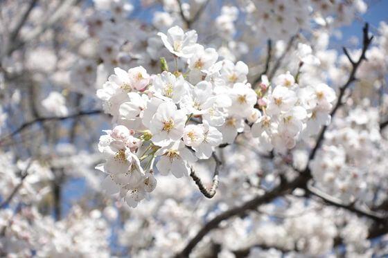あけぼの山公園 桜 開花状況