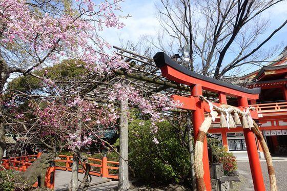 千葉神社 枝垂れ桜