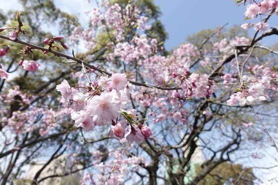 千葉神社 しだれ桜