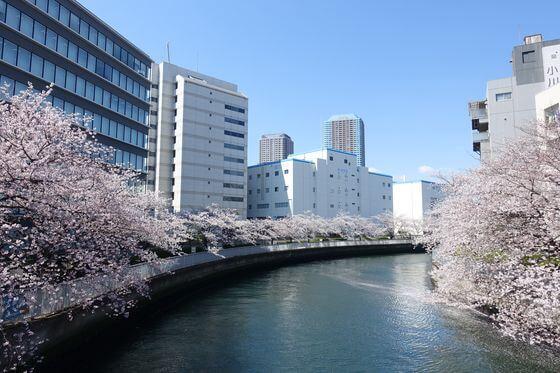 大横川 越中島橋 桜