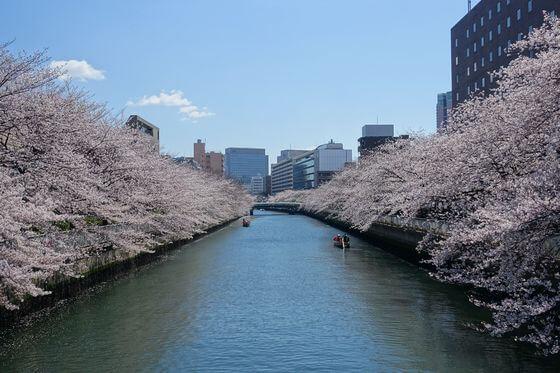 大横川 石島橋 桜