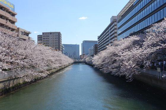 大横川 巴橋 桜