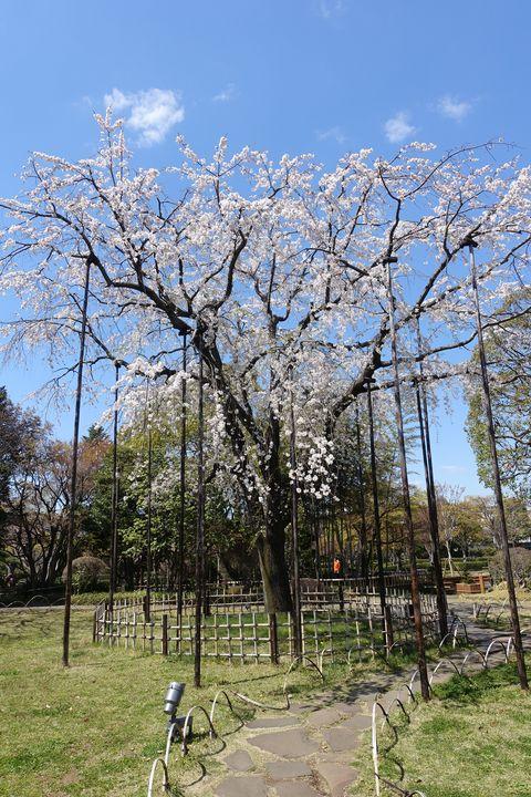 平成庭園 枝垂れ桜