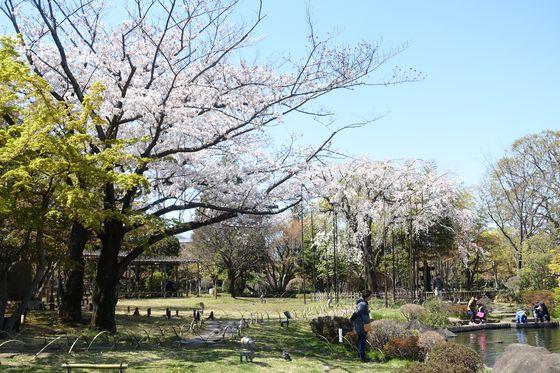 行船公園 桜 見頃