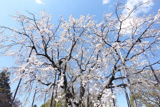 平成庭園 しだれ桜