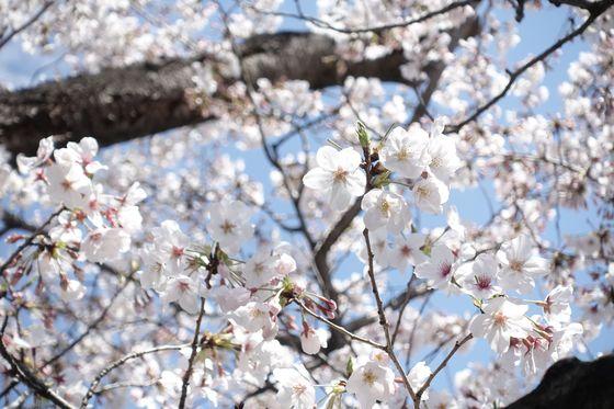 行船公園 桜 開花状況