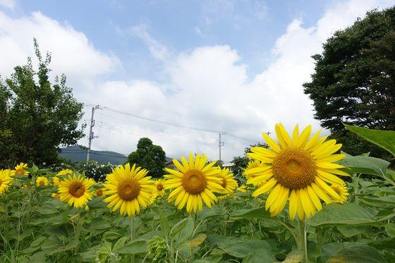 秦野戸川公園 ヒマワリフェア