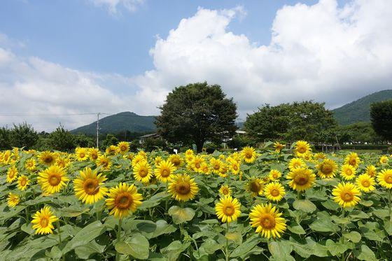 秦野戸川公園 ヒマワリ