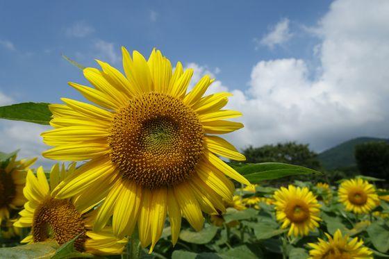 秦野戸川公園 向日葵
