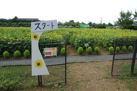 秦野戸川公園 ひまわり畑