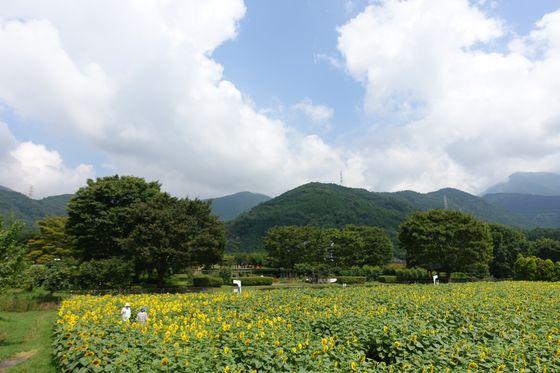 秦野戸川公園 ひまわり畑 展望台 景色