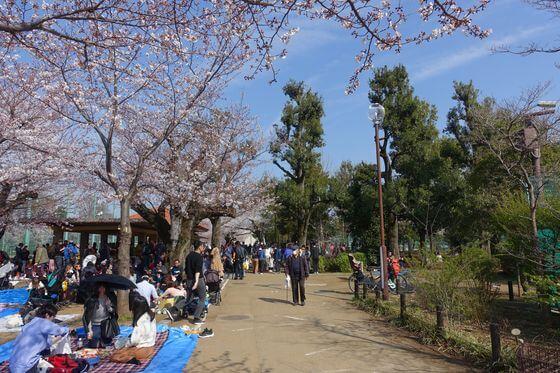 世田谷 羽根木公園 桜
