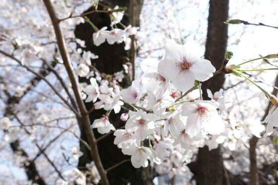羽根木公園 世田谷 桜