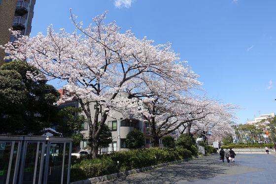 東綾瀬公園 桜 本数