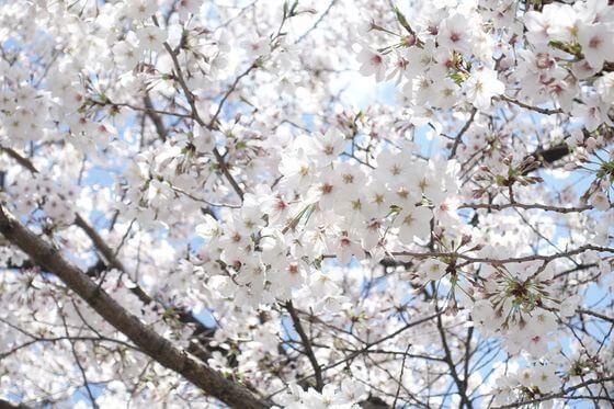 東綾瀬公園 桜 開花状況