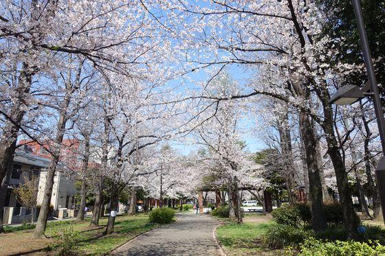 東綾瀬公園 桜