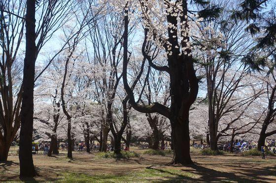 光が丘公園 桜 本数
