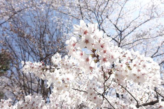 光が丘公園 桜 満開