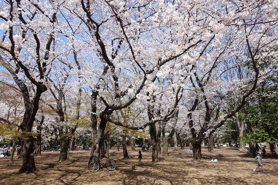光が丘公園 桜 見頃