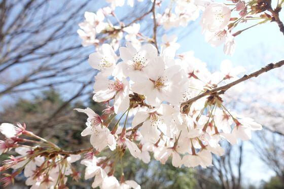 光が丘公園 桜 開花状況