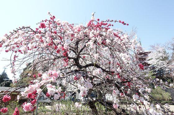 花桃 本土寺