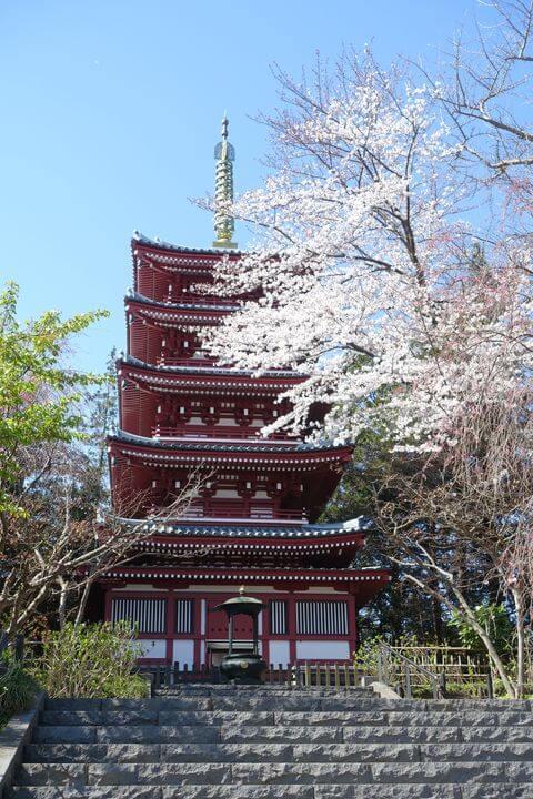 本土寺 五重塔 桜