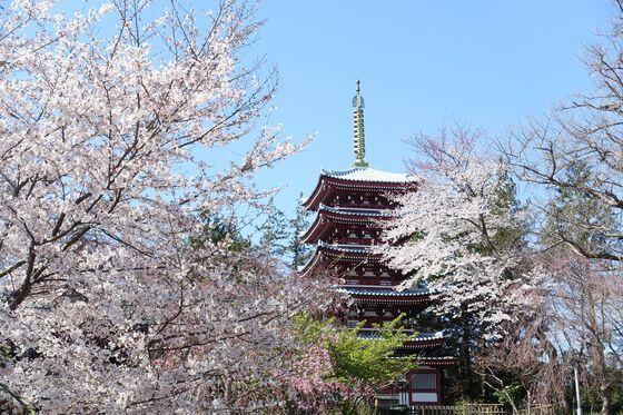 本土寺 桜