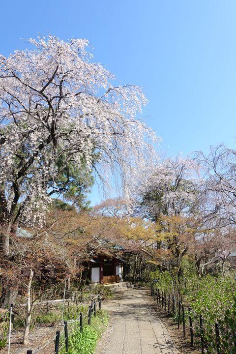 本土寺 しだれ桜