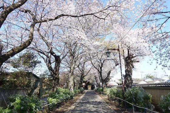 本土寺 桜並木