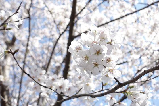 本土寺 桜 開花状況